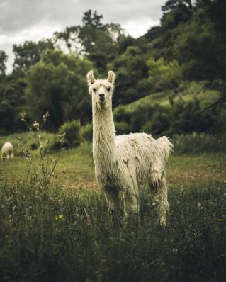 photo-of-llama-on-grass-3396846